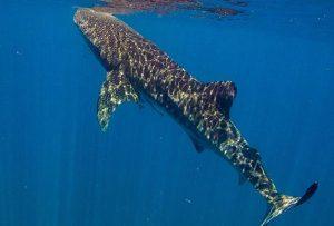 Whale-Shark-5