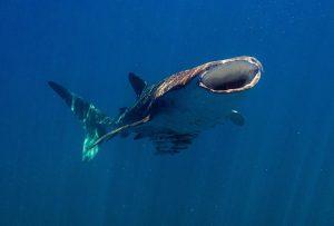 Whale-Shark-6
